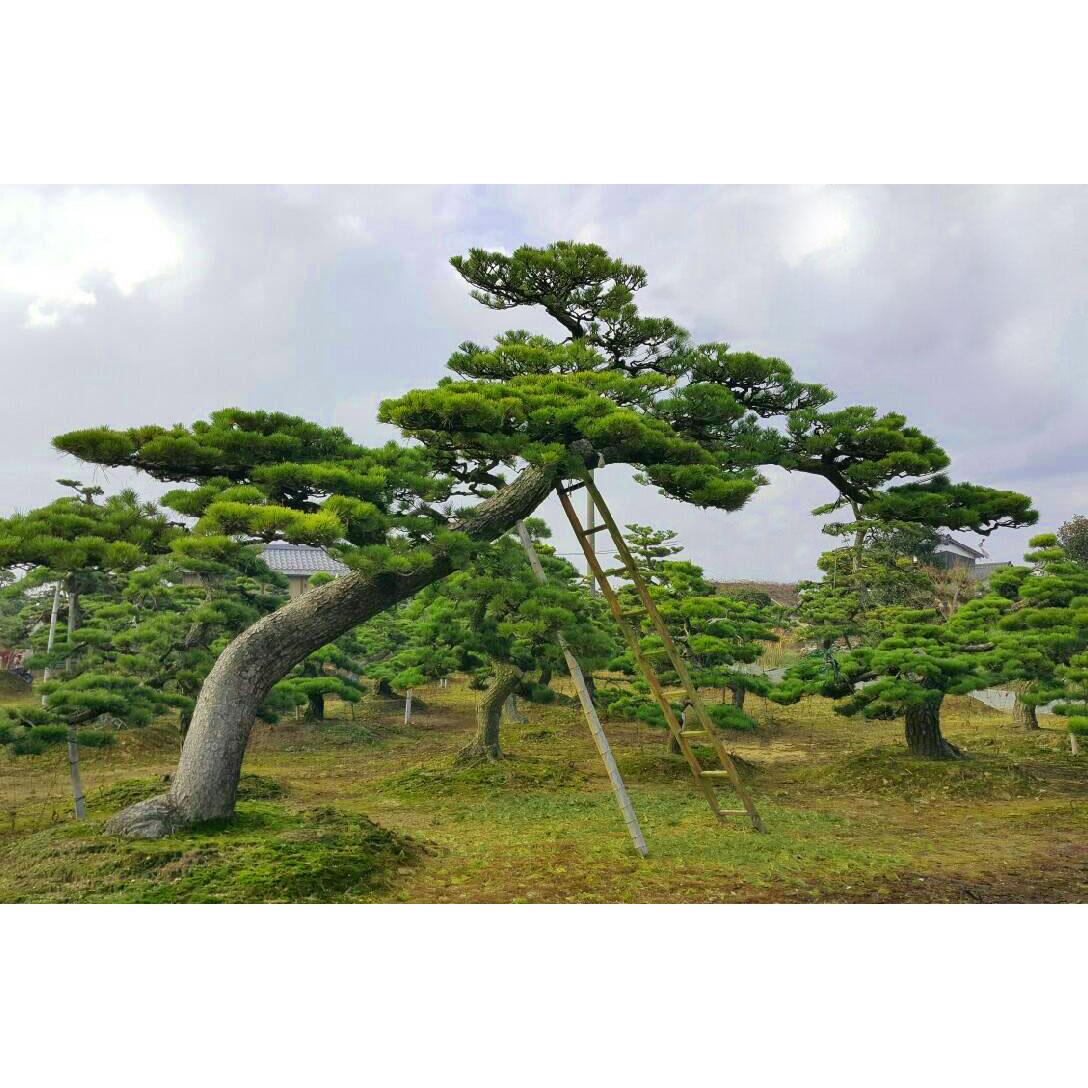 提高日本景觀大樹存活率 拷貝